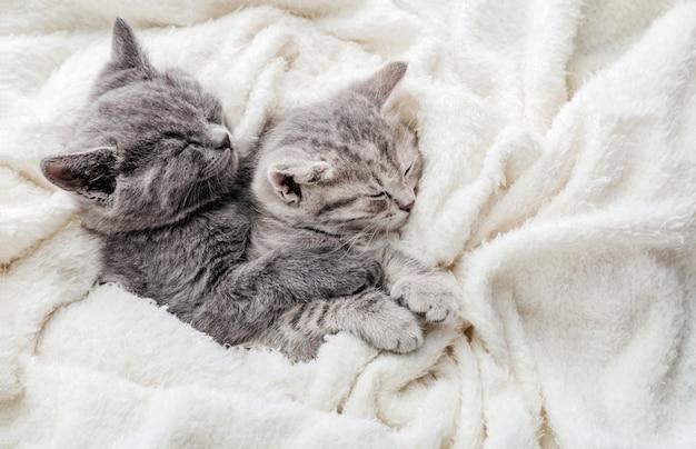 Coppia di 2 gattini dormono abbracciati sul letto bianco. gli abbracci amano 2 gatti. famiglia di gatti di razza. gli animali domestici hanno un riposo confortevole e tenero. vista dall'alto con copia spazio.