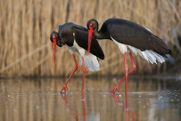Coppia di cicogne nere che camminano fianco a fianco durante il rituale di corteggiamento nella zona umida