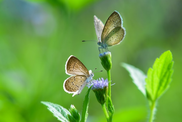 Coppia farfalla sul fiore in sfondo verde