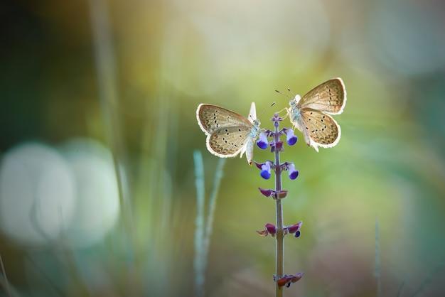 Coppia di farfalle sui fiori con lo sfondo della natura
