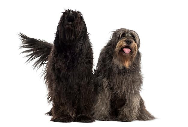 Coppia di cani da pastore catalani insieme abbaiare e ansimare