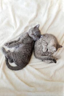 Il gattino lanuginoso delle coppie si rilassa sulla coperta bianca nell'amore. i gattini riposano. i gatti animali domestici mentono vista dall'alto