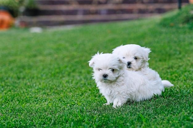 Un paio di cuccioli di bichon maltesi che giocano nell'erba