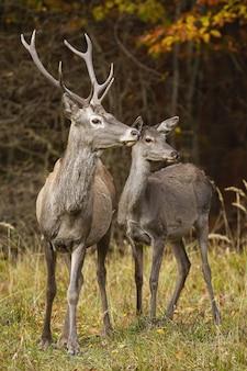 Coppia di cervi rossi alla ricerca sul campo in autunno la natura