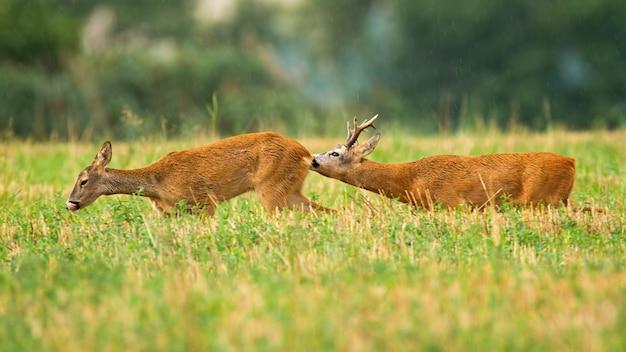 Coppia di caprioli buck e daina nella stagione degli amori estate sul campo di stoppie