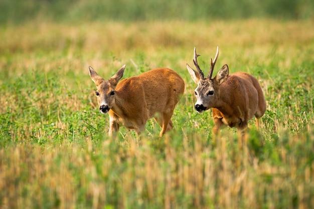 Coppie dei caprioli che corrono sul campo di stoppie con il trifoglio verde nella stagione rutting