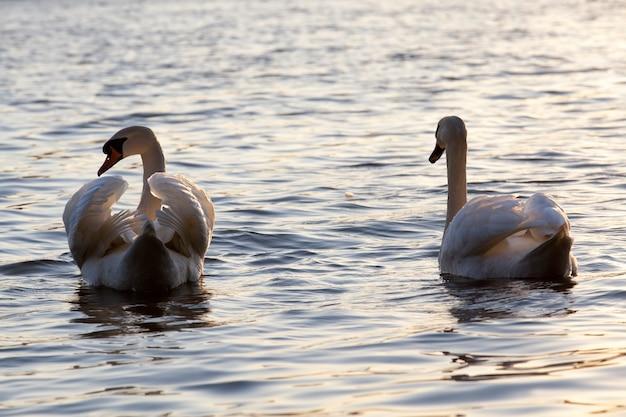 Coppia swan in primavera al lago