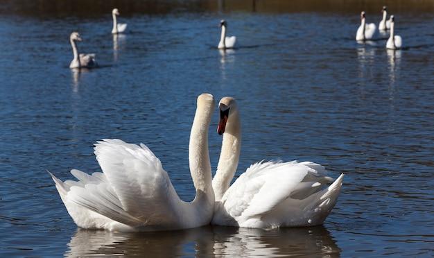 Coppia swan