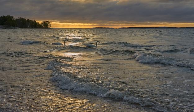 Coppia di cigni su un mare tempestoso ondeggiante su un tramonto.