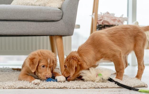 Coppia di cuccioli toller che mordono peluche a casa