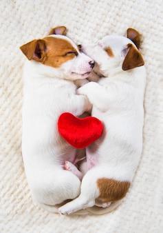Un paio di due cani cuccioli di jack russell terrier innamorati divertenti sono vicini. san valentino.