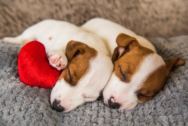 Coppia di due cani cuccioli di jack russell terrier divertenti innamorati