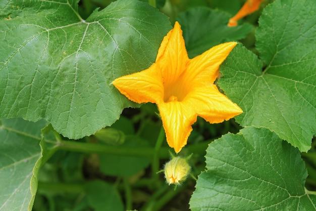 Fiore giallo dello zucchino fra le foglie verdi che crescono nel giardino