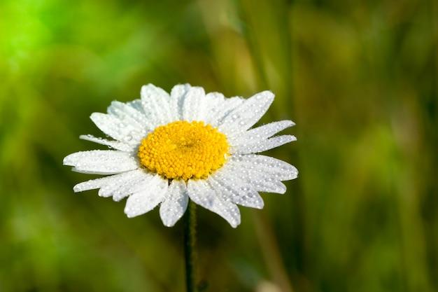 Coperto con gocce d'acqua bellissimo fiore margherita bianca su una superficie di erba verde, primo piano in primavera
