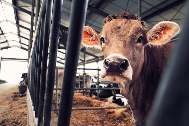 Mucca in fattoria di animali domestici per la produzione di carne o latte e l'allevamento. Foto Premium