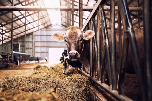 Mucca in fattoria di animali domestici per la produzione di carne o latte e l'allevamento.