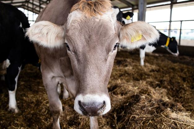 Mucca alla fattoria degli animali domestici per la produzione e l'allevamento di carne o latte.