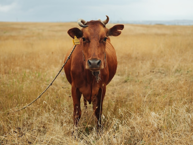 Mucca nel campo natura mammifero paesaggio agricoltura