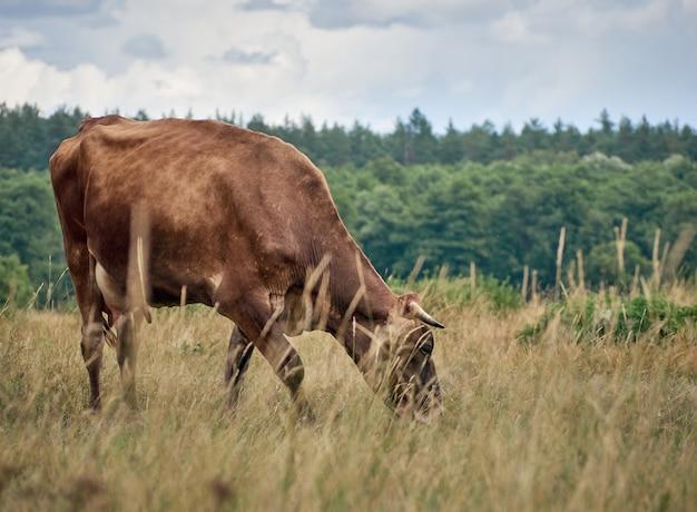 Mucca al pascolo sul pascolo.