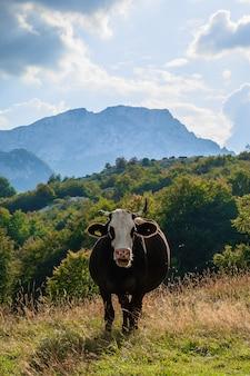 La mucca guarda nel telaio. montenegro, parco nazionale del durmitor