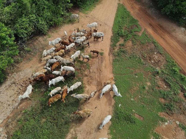 Cow man rilasciando mucca per mangiare erba nella foresta girato da droni in thailandia