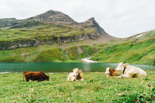Mucca in svizzera alpi montagna grindelwald in primo luogo