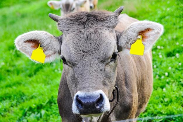 Una mucca con un'etichetta e una campana che pasce nelle montagne su un prato verde