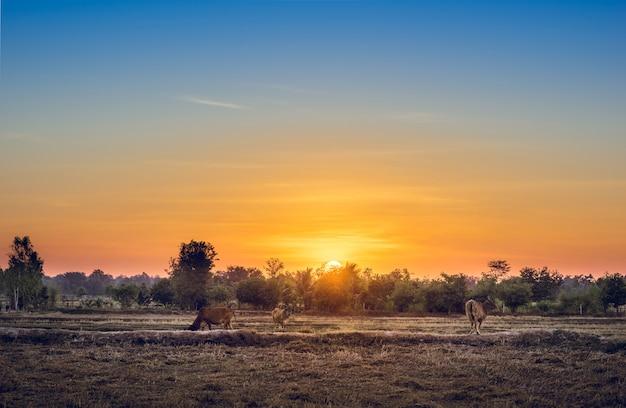 Le mucche mangiano l'erba per piacere nei campi all'alba e nel bel cielo.