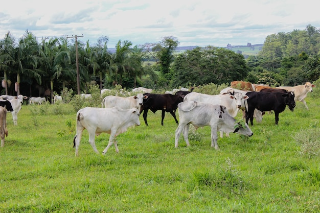 Mucche di razze diverse in un campo erboso in una giornata di sole luminosa e nuvolosa in una fattoria in brasile.