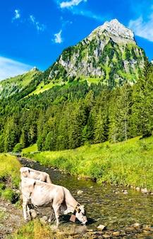 Mucche che bevono dal fiume sulzbach a oberseetal nelle alpi svizzere