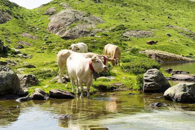 Mucche che bevono in un lago di montagna