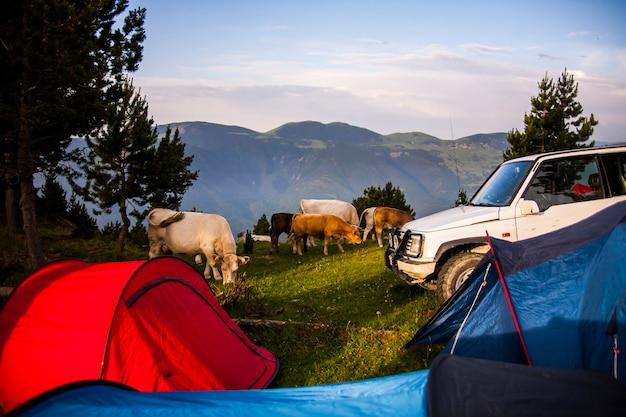 Mucche nella foresta in la cerdanya, pirenei, spagna.