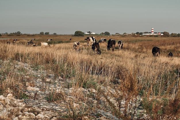 Le mucche pascolano nel campo. inizio autunno. produzione di latte.