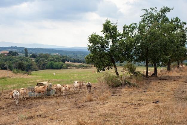 Le mucche pascolano nel prato. paesaggio, spagna.