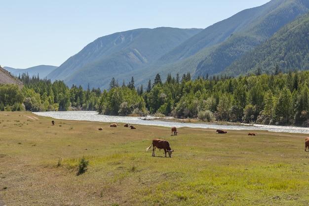 Le mucche pascolano pacificamente in un prato sulle rive dei monti altai. russia