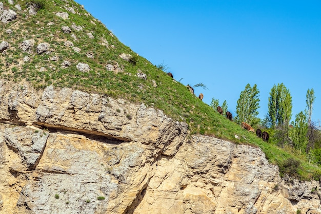 Le mucche pascolano su un ripido pendio di montagna