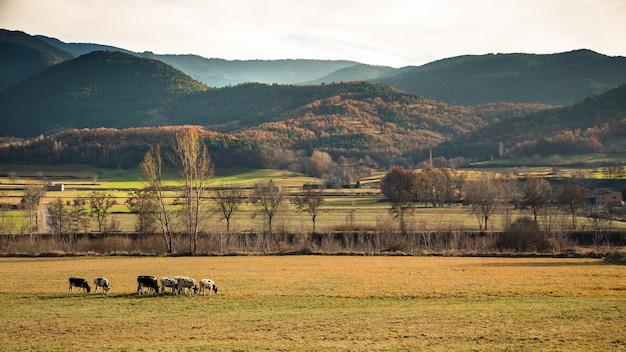 Mucche al pascolo sul campo verde in montagna