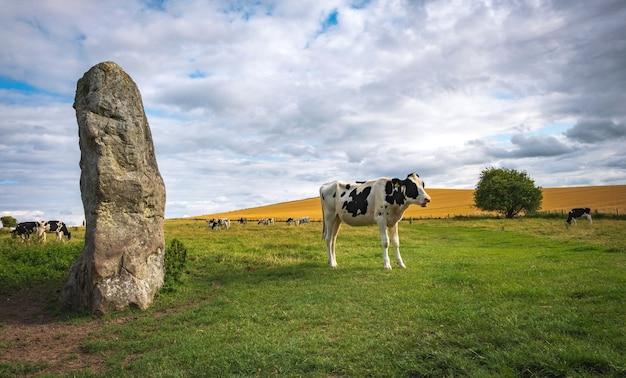 Le mucche al pascolo nei pressi di pietre preistoriche ad avebury nel wiltshire, inghilterra regno unito