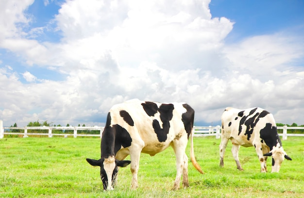 Mucche al pascolo in un prato soleggiato in primavera Foto Premium