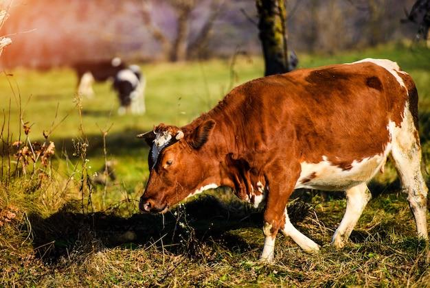 Le mucche pascolano in montagna
