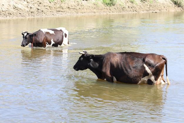 Mucche nell'acqua del fiume in estate