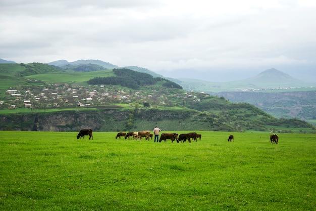 Mucche e un pastore su un campo verde durante il giorno