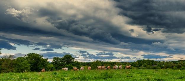 Mucche e un cielo nuvoloso minaccioso. nuvole minacciose sopra il paesaggio