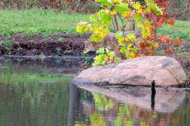 Coyote in autunno con riflessione in acqua