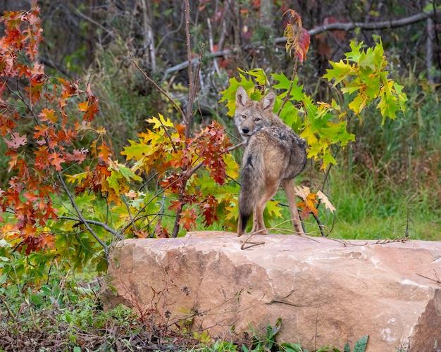 Coyote appollaiato su un masso che guarda sopra la spalla