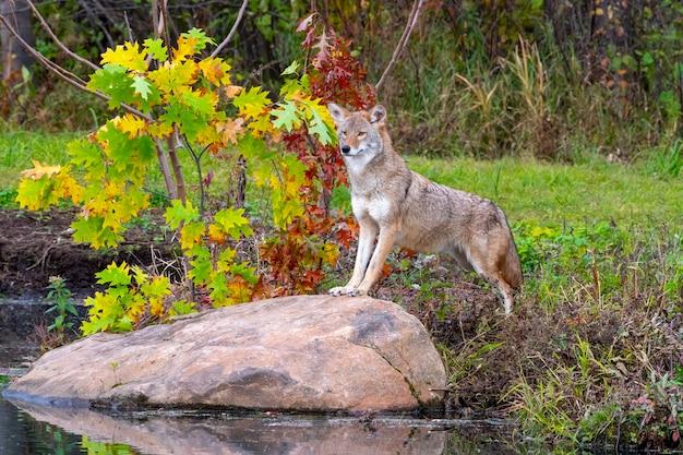 Coyote in piedi su un masso vicino all'acqua in autunno