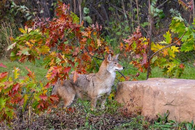 Coyote nel bosco con i colori dell'autunno