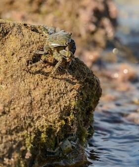 Granchio sulla cima della roccia in riva al mare
