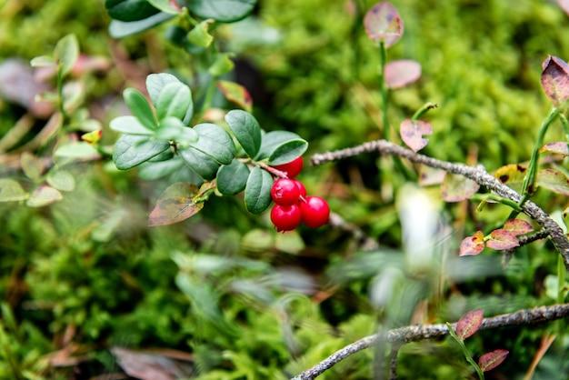Mirtilli rossi che crescono nella foresta all'inizio dell'autunno.