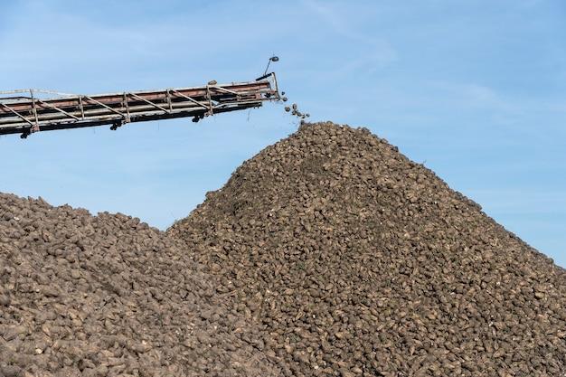 Trasportatore a gru della mietitrebbia che scarica barbabietola da zucchero. macchina da raccolta che lavora su terreni agricoli. attrezzature agricole. nastro gru che scarica tuberi di barbabietola da zucchero dal camion a terra